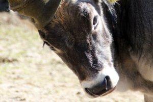 Jogglanderhof Animali, mucche 2
