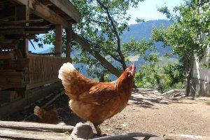 Jogglanderhof Tiere Hühner 3